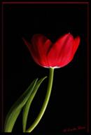 Passionate Tulip