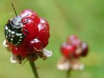 Raspberry Beetle