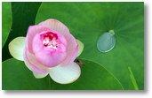 Lily Drop